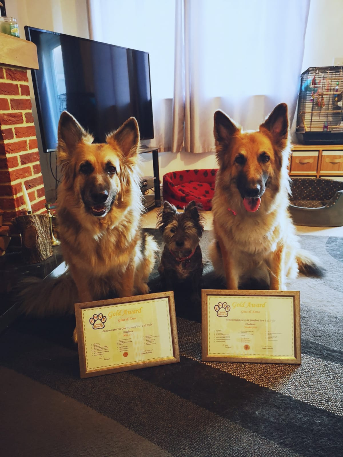 Spot the difference! Two GSD, two Gold II awards!